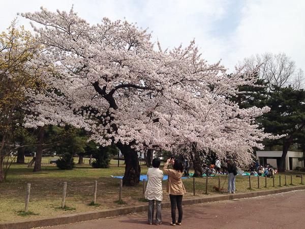 Сакура в Тохоку